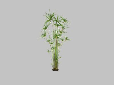 Arbol Cypress Grass 6″