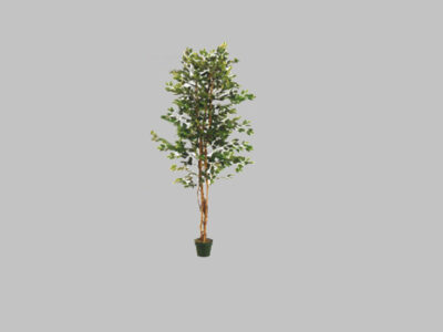 Arbol Fat Ficus 7′