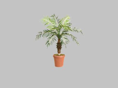 Palmera Date Palm 3.5′