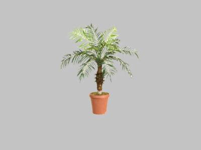 Palmera Date Palm 5′