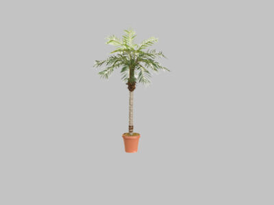 Palmera Date Palm 5.5′