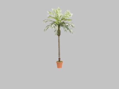Palmera Date Palm 7′