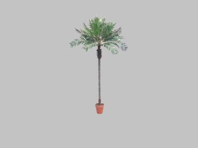 Palmera Date Palm (8.5″)
