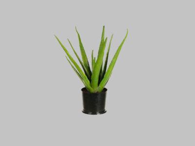 Planta Aloe